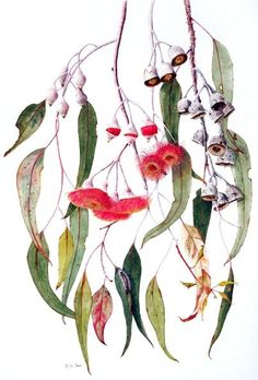 Eucalyptus caesia. Wedding Invitation botanical drawings along the top and hanging down the side - Australia :) Australian Native Flowers, Australian Wildflowers, Australian Plants, Australian Art, Australian Tattoo, Botanical Flowers, Watercolor Flowers, Watercolour Painting, Watercolor Tattoo