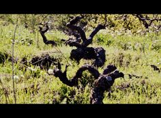 old vines in the North