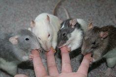 rat paws - Google zoeken