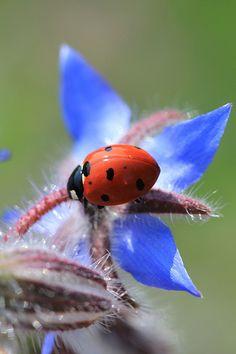 Ladybug on a bright blue flower
