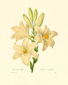 White Lily vintage flower print Cottage wall by VictorianWallArt