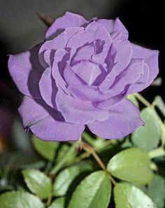 Beautiful color Rose