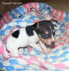 A baby Toy Fox Terrier, planning on adopting one soon! Baby Chihuahua, Baby Puppies, Cute Puppies, Cute Dogs, Dogs And Puppies, Toy Fox Terrier Puppies, Rat Terriers, Baby Animals, Cute Animals