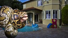 Pet pythons released to the wild have become a well-known threat to Florida's Everglades. Photo © Karine Aigner and Ken Geiger