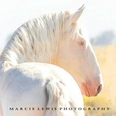 lusitano andalusian Big Hair Baroque Big Hair Baroque Rare and Exotic Stallion f. - The Andalusian Horse / Spanische Pferde - All The Pretty Horses, Beautiful Horses, Animals Beautiful, Andalusian Horse, Friesian Horse, Arabian Horses, Warmblood Horses, Appaloosa Horses, Horse Classifieds