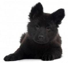 Black German Shepherd Pup