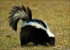 Skunks are omnivores. They eat fish, clams, insects, fruit, vegetables, lizards, and birdseed. More Skunk facts for kids: http://easyscienceforkids.com/all-about-skunks/