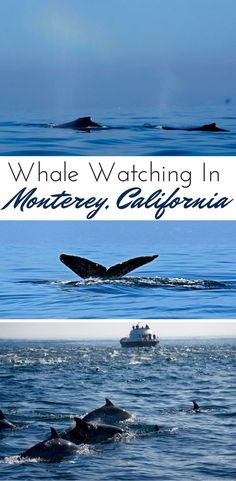 On a coastal California road trip, go whale watching on Monterey Bay for a chance to take in the unique wildlife. One of the best things to do in Monterey.