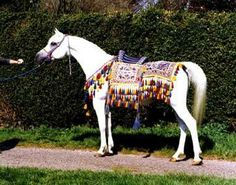 Aliha was a World Champion Mare and dam to a World Champion Mare, Atlantica, by *El Shaklan.
