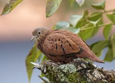 Rolinha-roxa, Ruddy Ground-dove (Columbina talpacoti) | by claudio.marcio2