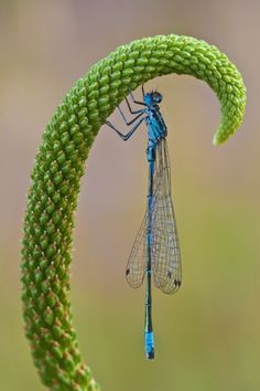 damselflies are a lot like dragonflies, except much smaller, daintier, and more delicate.