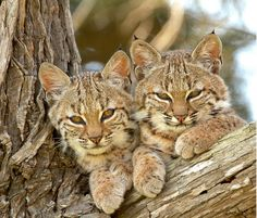 Lynx Kitten, Caracal Cat, Happy Animals, Animals And Pets, Cute Animals, Pretty Cats, Beautiful Cats, Cool Cats, Curious Cat