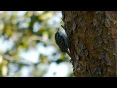 Eurasian Treecreeper or Common Treecreeper (Certhia familiaris) / Waldbaumläufer [01] - YouTube