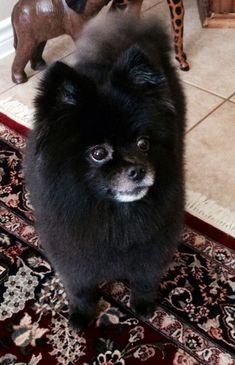 Black Pomeranian....Roscoe Pomeranian Colors, Black Pomeranian, Pomeranian Puppy, Pomeranian Breeders, Pomeranian Haircut, Cute Puppies, Cute Dogs, Dogs And Puppies, Super Cute Animals
