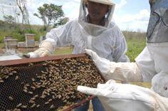 Miel mexiquense se abre camino en el mercado nacional e internacional. | La miel mexiquense se abre camino en el mercado nacional e internacional, de ahí que se mantenga su padrón de 45,420 colmenas, que producen anualmente alrededor de 1,200 toneladas de este alimento así como 30 toneladas de cera, que para el estado de México representa una derrama económica de 62 millones de pesos.