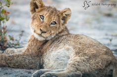 Website dedicate to Wildlife photography French Press Coffee Maker, Cold Brew Coffee Maker, Real Coffee, Lion Cub, Coffee Lover Gifts, How To Make Tea, Fat Cats, Classic Italian, Safari Animals