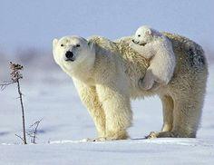 Polar bear cub catching a ride...