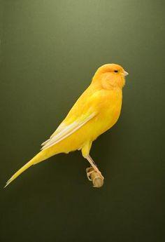 Le canari - Luke Stephenson Exotic Birds, Colorful Birds, Yellow Birds, Pretty Birds, Beautiful Birds, Photo Fair, Canary Birds, All Birds, Mellow Yellow