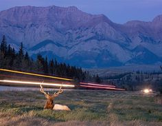 Wildlife Photographer of the Year 2012 (© Vladimir Medvedev (Russia)), red deer stag in the Jasper National Park, Canada