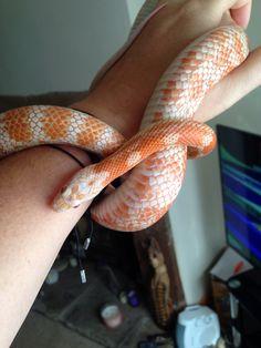 Mickey. Amel cinder corn snake. 2 years