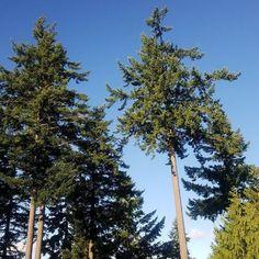 No filter blue sky through the evergreens in Longview Wa. #bluesky #peaceful #peace #evergreens #trees #findbeautywherryouare #thankyoujesus #travel #longview #longviewwa #washington #wa #travelspiritually #thankyoujesus #praisegod #praisejesus #adonai #thankyouforpeace #rest #outplanettravel