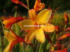 crocosmia harlequin - Bing images