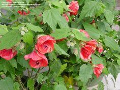 Photo of Flowering Maple 'Super Red' (Abutilon x hybridum)
