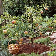 This revolutionary pruning method will give you more fruit growing options, because nearly any deciduous fruit variety can be trained to stay compact. Learn how and when to prune fruit trees so that they'll thrive, even in small gardens. From MOTHER EARTH Prune Fruit, Pruning Fruit Trees, Dwarf Fruit Trees, Tree Pruning, Grafting Fruit Trees, Fruit Tree Garden, Garden Trees, Small Garden With Trees, Pergola Garden