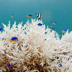 Kamu berpikir ini di aquarium? Bukaaaan, ini di laut depan rumahku :) Selamat hari minggu dari dasar laut..  #Snorkeling #Freedive #TamanDepanRumah #Lembata #Indonesia  #541Adventure #Sea #SeaLife #SaltLife #Fish #Nemo #Wonderful_places #GoPro #Corals #Naturelovers #Consevation #Oceanholic #Exploreindonesia #SouthEastIslands #Amazing #Nature #Ocean #EnjoyNature #Underwater #Tropical #Paradise