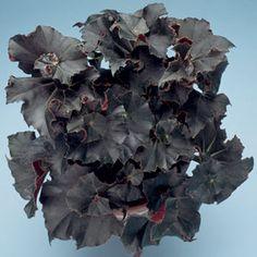 Begonia 'Midnight Twist' (Begonia rhizomatous hybrid)