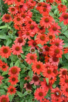 Did you know today is National Tortilla Chip Day? We can't help with snack time, but we can spice up your garden! Try Echinacea 'Salsa Red' for a zesty splash of color this spring. http://ss1.us/a/4VifWM7G