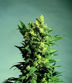 Shiva Shanti 2 - a multiple hybrid of original Afghani strains from the Hindu Kush mountains, mixed with the ever reliable Skunk #1.  One of Sensi's most affordable strains, yet still potent and productive enough to please any grower!    http://sensiseeds.com/cannabis-seeds/sensi-seeds/shiva-shanti-ii