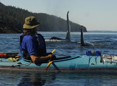 Ocean Kayaking and Camping for 6 Days in Johnstone Strait (A major Orca hotspot) Orcas, Alaska, Kayak Boats, Canoes, Wale, Killer Whales, Whale Watching, Ocean Life, Marine Life