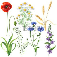 cornflower blue plant: Wildflowers set. Poppy, cornflowers, chamomile, bluebell, blindweed,  wheat ears and  grass  isolated on white.