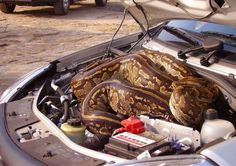 Marlene Swart and Leon Swanepoel were forced to drive three miles while a 16-foot-python relaxed under the hood of their car.The couple were visiting Kruger National Park, when to their surprise they were met with a python who took a liking to their car. The large serpent made its way underneath the car hood. The couple were forced to drive to a check point with the snake on board and were relieved when it slithered away unharmed after the car hood was raised.