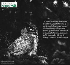 Words by: David Attenborough David Attenborough, Owl Photos, Horned Owl, Natural World, Photo Credit, Ontario, Photo Editing, Words, Nature