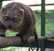 Sulawesi Bear Cuscus (Ailurops ursinus), North Sulawesi, Indonesia