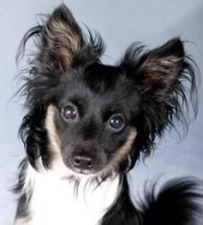 Monkey is an adoptable Papillon Dog in Chicago, IL. Monkey is an adorable, happy, sweet, playful and fun, one-year-old, ten-pound, male, tri-color Papillion/Long-Haired Chihuahua-mix looking for a lov...