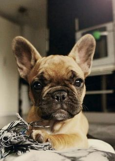 Very Bossy French Bulldog Puppy. too funny face Cute Puppies, Cute Dogs, Dogs And Puppies, Doggies, Baby Dogs, Baby Animals, Cute Animals, French Bulldog Puppies, French Bulldog Tan