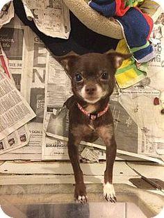 Cody the Chihuahua Mix | K9 Kelp Fan Favorites | Pinterest ...