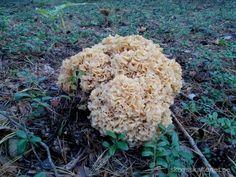 Blomkålssvamp