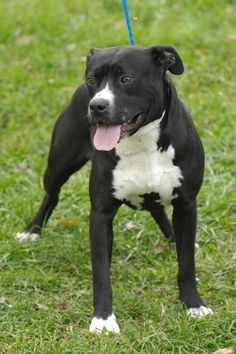 ***SUPER SUPER URGENT!!!*** - PLEASE SAVE BOOKER!! - EU DATE: 6/13/2015 -- Booker 51 Breed:Pit Bull Terrier Age: Young adult Gender: Male Shelter Information: Johnson City/Washington Co. Animal Shelter 525 Sells Ave  Johnson City, TN Shelter dog ID: D2014956 Contacts: Phone: 423-773-8510 Name: Hannah Greene email: jcanimalshelter@embarqmail.com About Booker 51: Booker is housebroken, good with children, but not cats and we are not sure about all other dogs. He came in with two other dogs and…