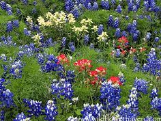 Texas wildflowers. Beautiful..