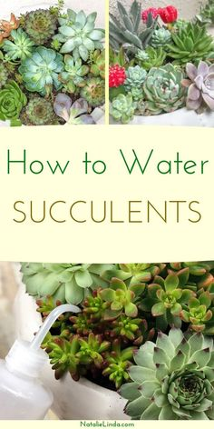 Learn how to water succulents the right way so they can stay healthy and look their best! In this post, you'll learn how to properly water both indoor succulents, and outdoor succulents. Succulent Gardening, Planting Succulents, Container Gardening, Garden Plants, Planting Flowers, Indoor Succulents, Watering Succulents, Organic Gardening, House Plants