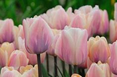 Tulipa triumph 'Sweet Love' Tulip