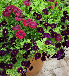 A combination of calibrachoa and osteospermum  - luscious silk-velvet flowers for rich glamour from summer to the depths of winter. Buy this collection today!