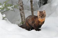 Photo by Jeff Wendorff. American Marten, Mountain Living, Otters, Brown Bear, Mammals, Life List, Wyoming, Idaho, Pretty