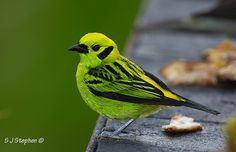 Male Emerald Tanager