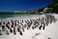 Swimming with penguins at Boulders Beach just outside Cape Town in South Africa.