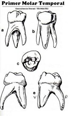 Anatomia de DientesTemporales